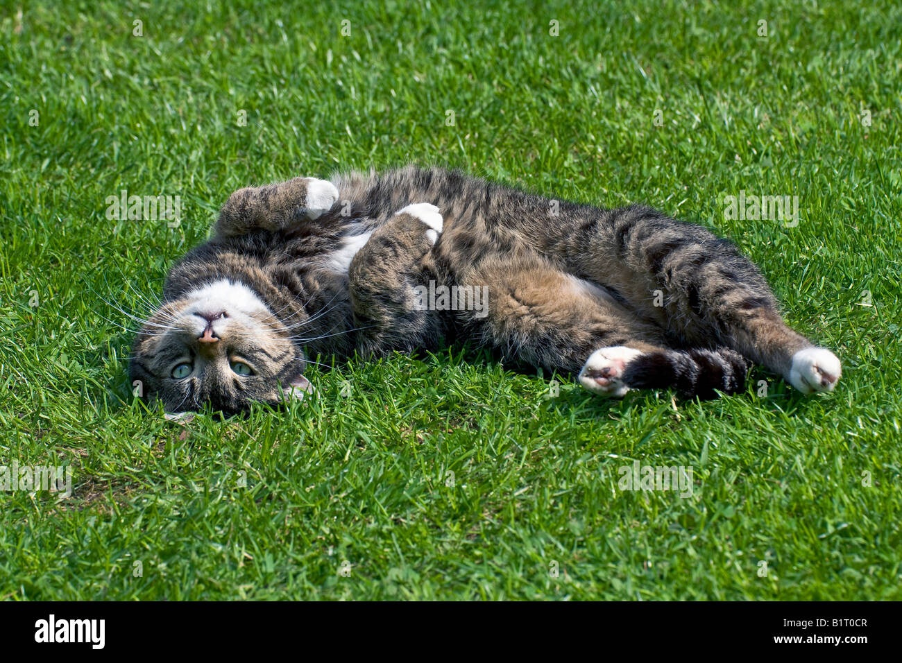 Male Domestic Cat (Felis silvestris catus) relaxing on the lawn Stock Photo