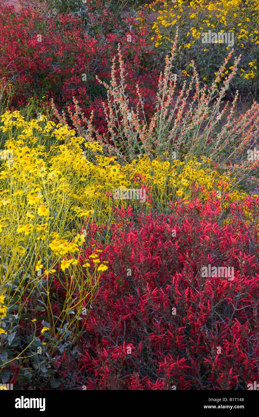 Wildflowers in Fountain Hills outside of Phoenix Arizona - Stock Image