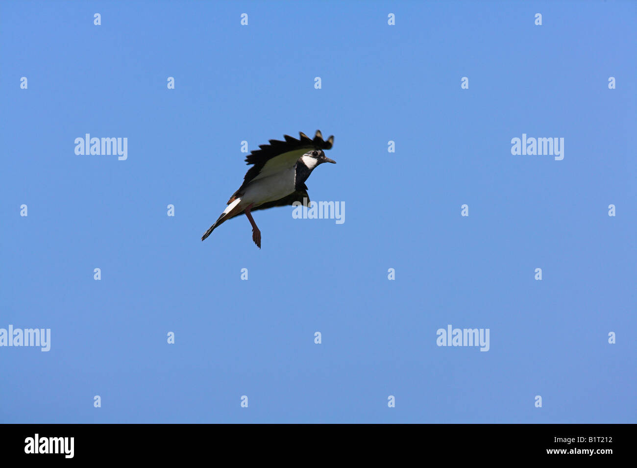 Lapwing Vanellus vanellus performing aerial display on North Uist, Scotland in May. - Stock Image