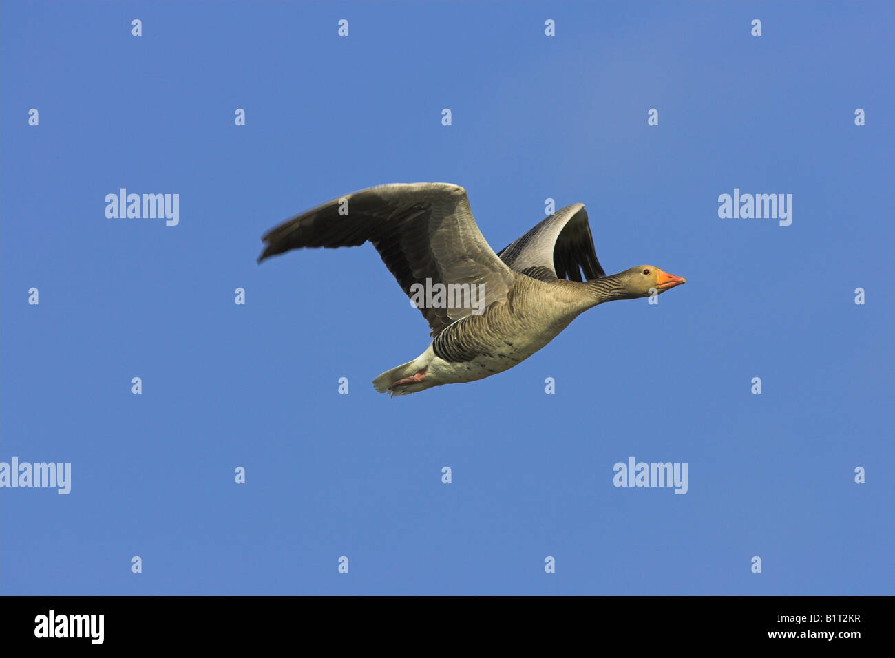 Greylag Goose Anser anser flying against blue sky on North Uist, Scotland in May. Stock Photo