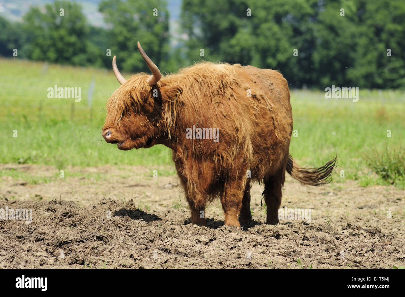 Hairy coo ruminating - Stock Image
