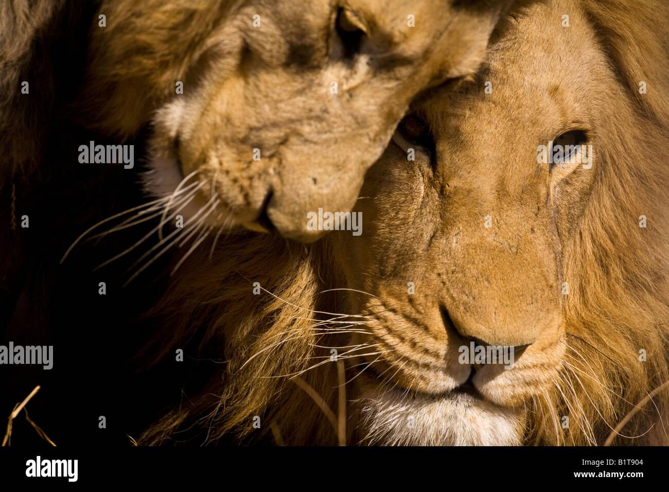 Male lions bonding - Stock Image