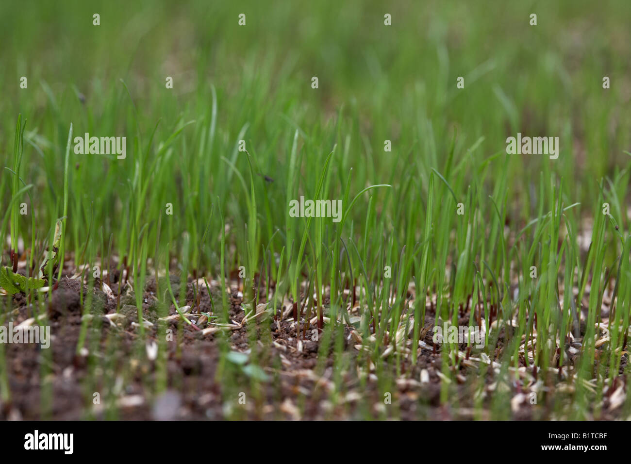 new grass growing from grass seed in a garden , northern ireland - Stock Image