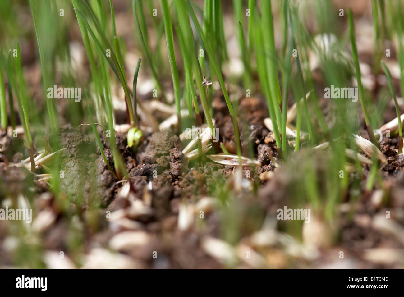 leisure emerald variety new grass growing from grass seed in a garden , northern ireland - Stock Image