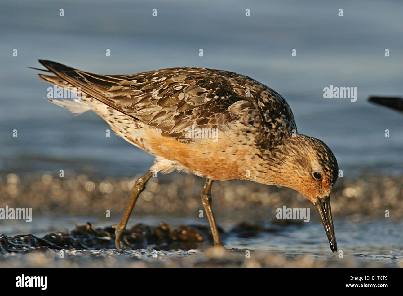 Red Knot Standing Stock Photos Images Alamy Redknot Shoes Tech Brown Calidris Canutus Image