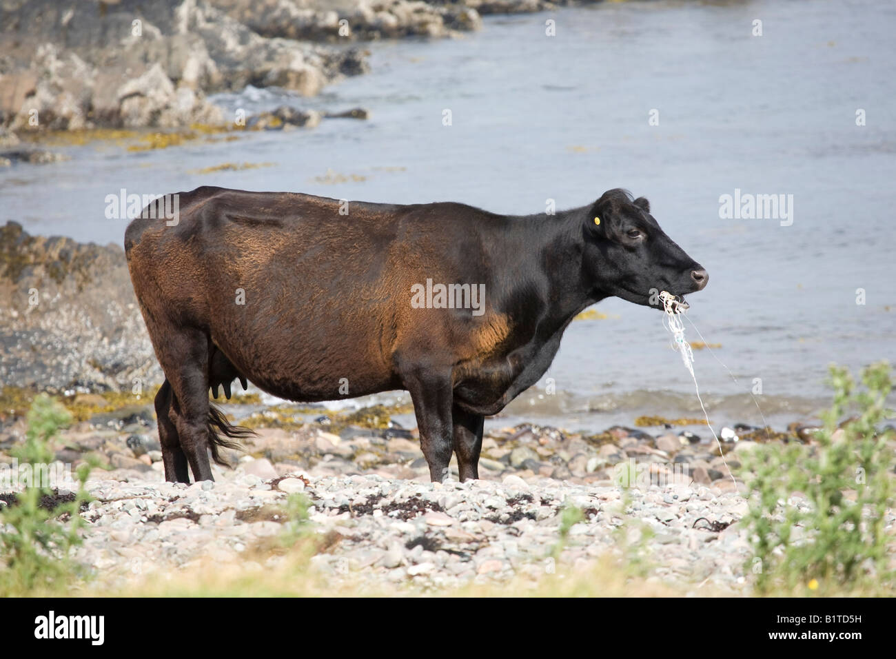Plastic tide, Coastal beach pollution at Ord, Isle of Sky, Loch Eishort. Cows, farm animals eating marine litter, - Stock Image
