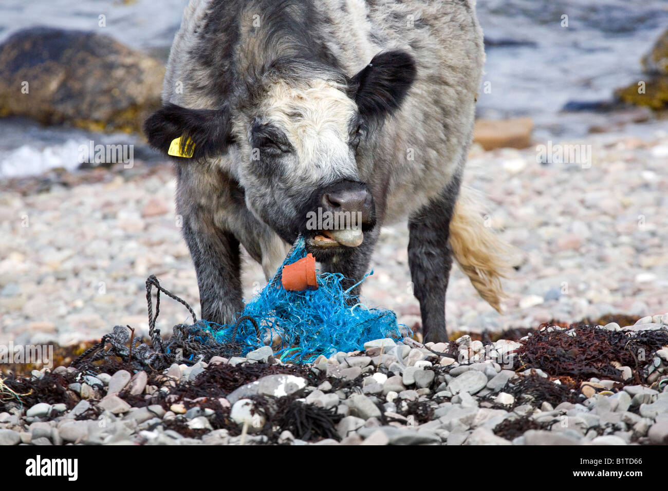 Plastic Tide, Coastal beach pollution at Ord, Loch Eishort. Cows animals,eating,netting, plastic bags marine litter - Stock Image