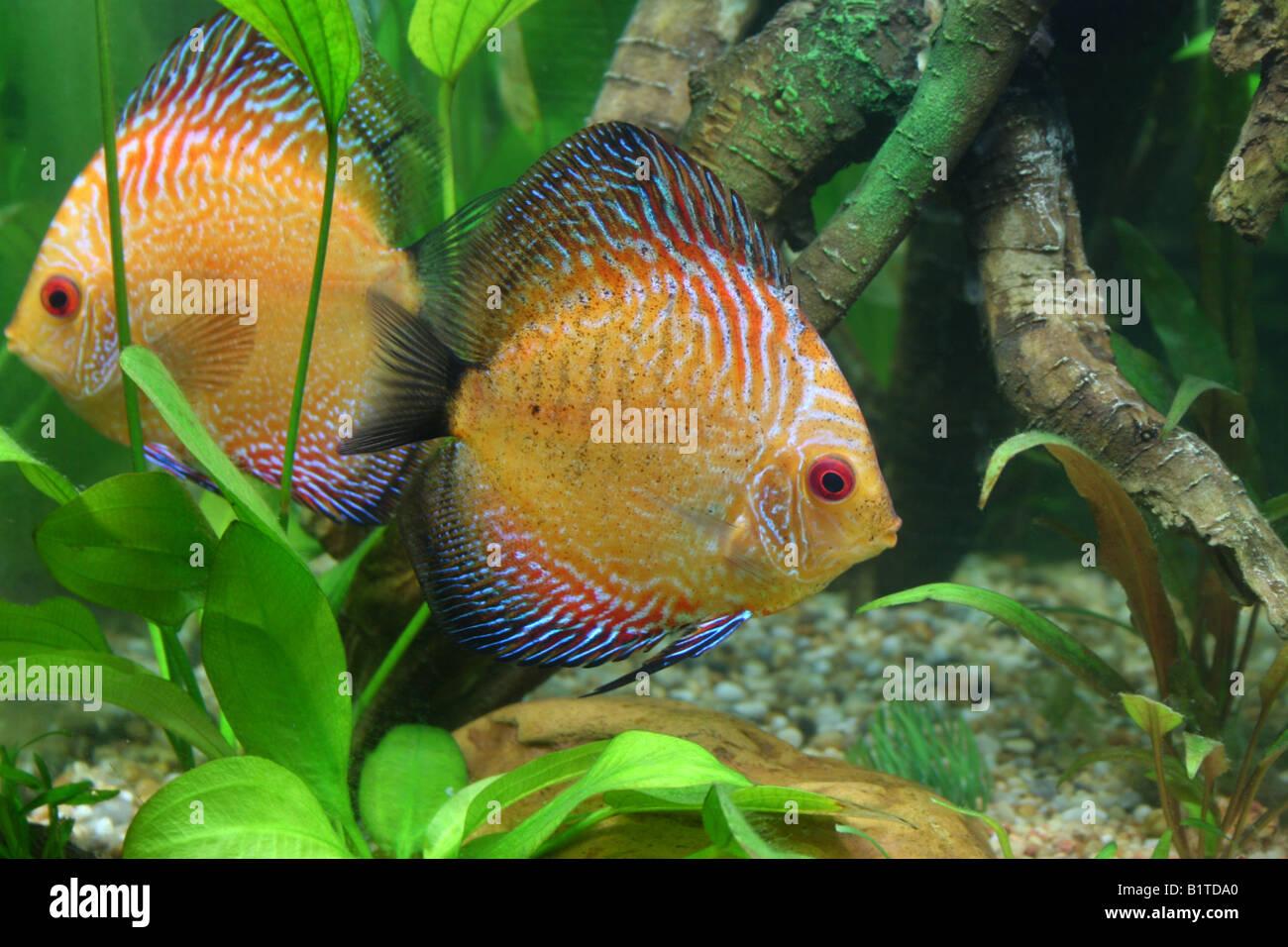 Pigeon Snake Discus Fish In A Tropical Aquarium Stock Photo