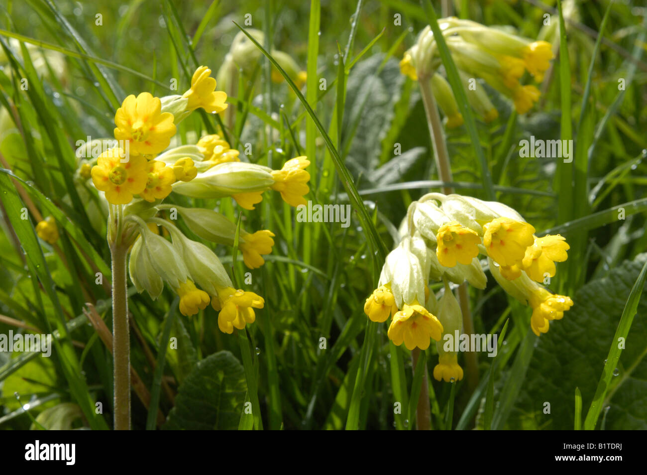 Cowslips (Primula veris) in Field - Stock Image