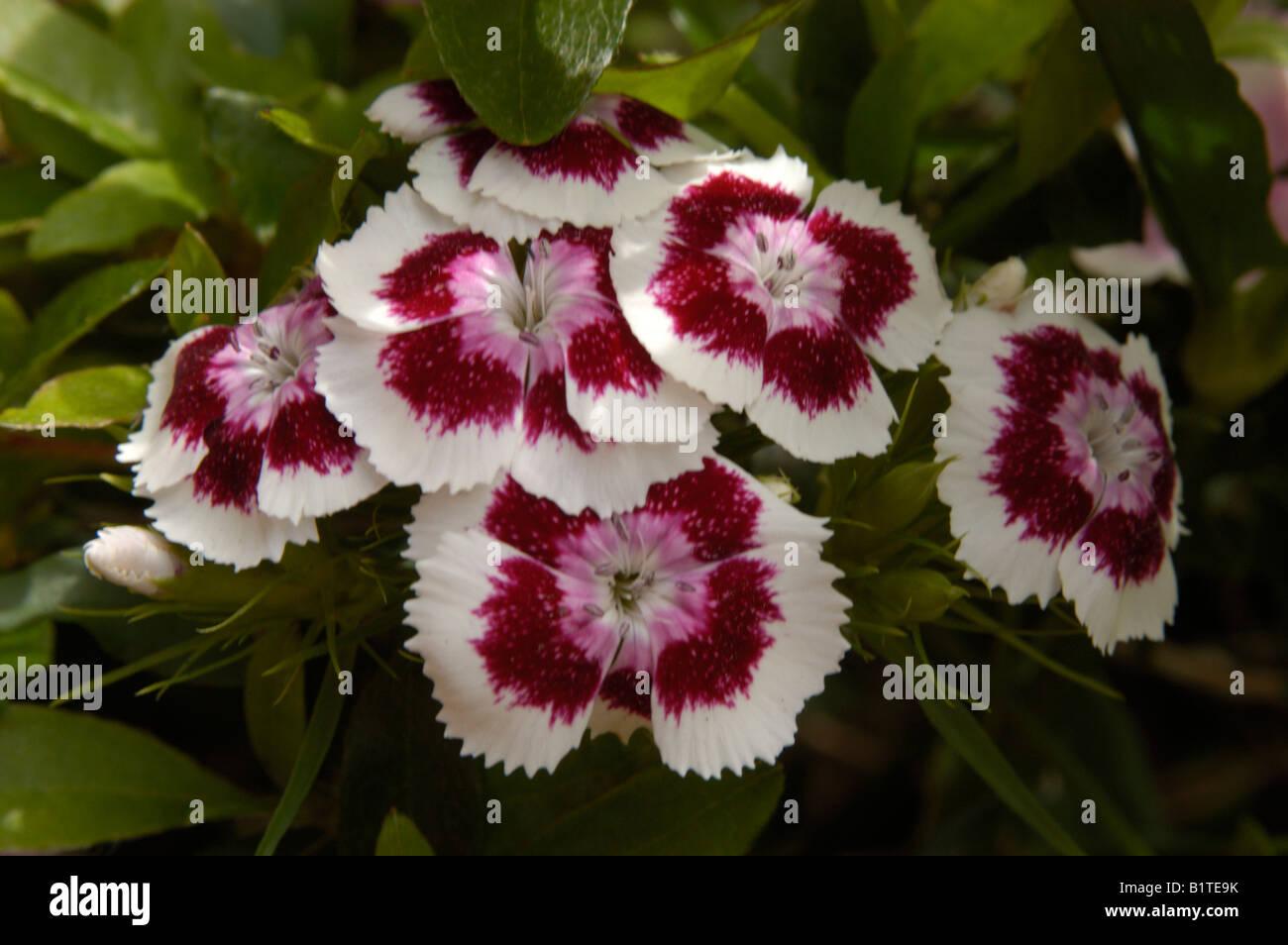 Sweet William Flower - Stock Image