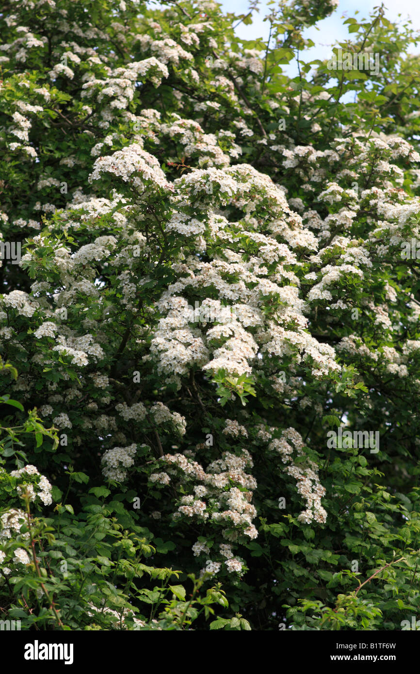 white flowering hawthorn tree - Stock Image