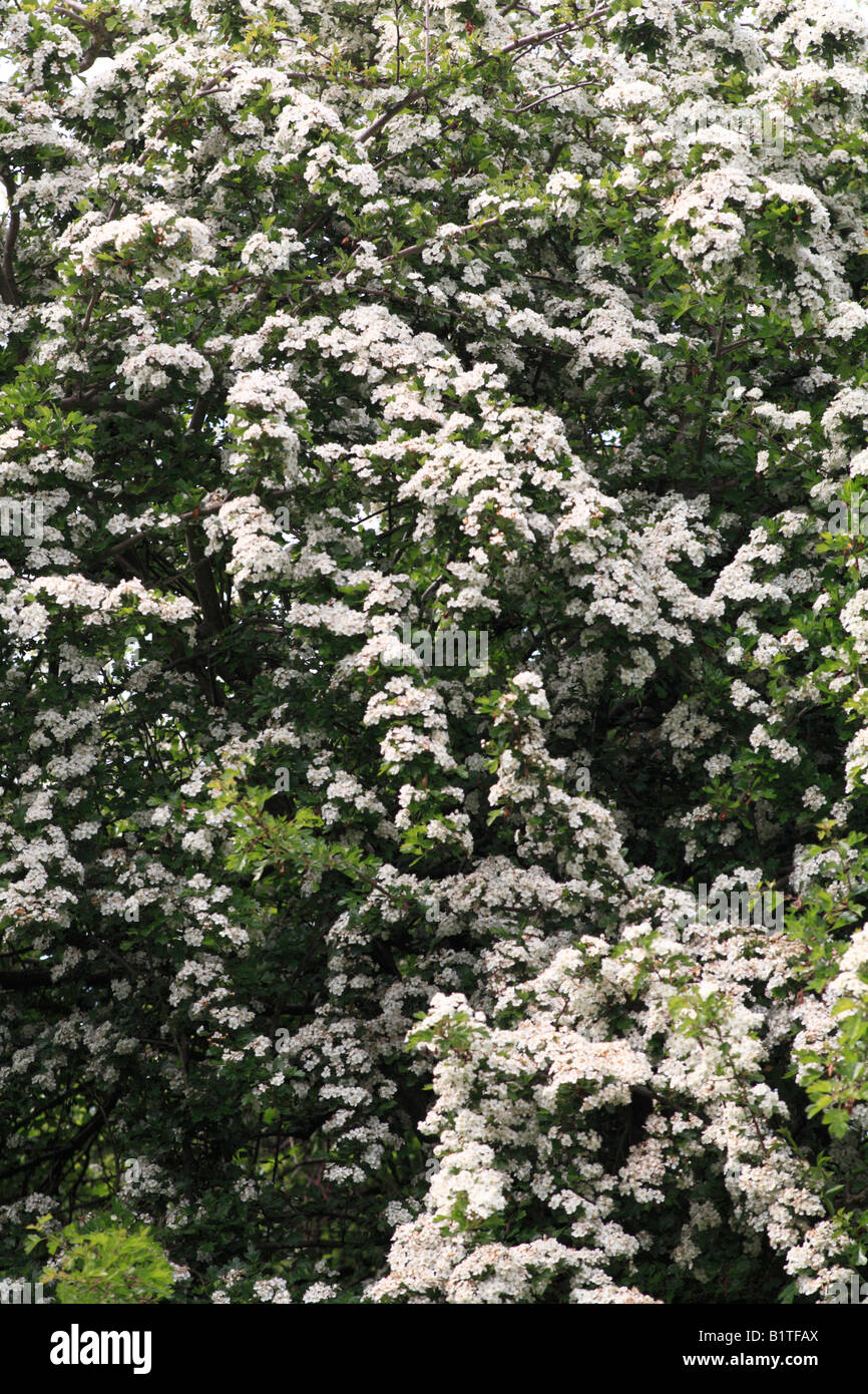 white flowering hawthorn tree - Stock Image