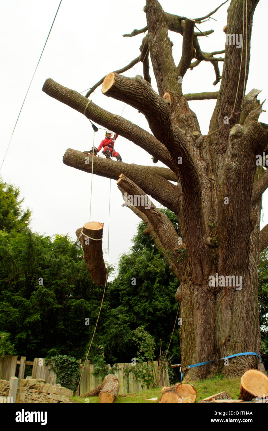 Tree surgeon climbing between branches wearing full safety equipment Stock Photo