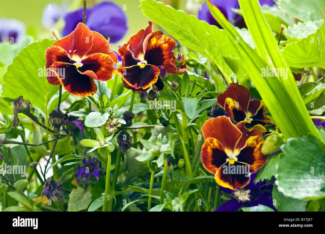 Pansies - Stock Image