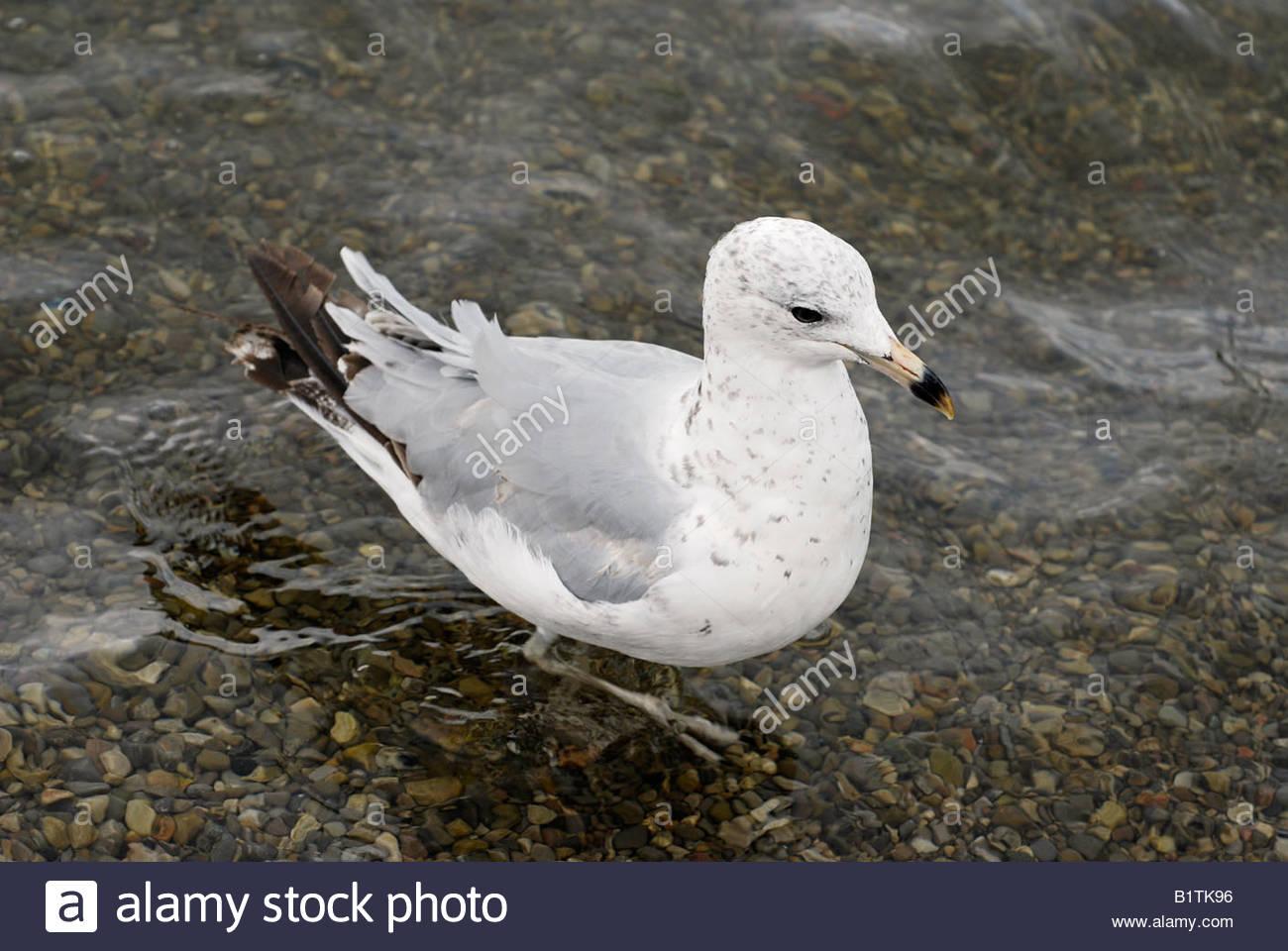 Herring Gull at the Lakeshore - Stock Image