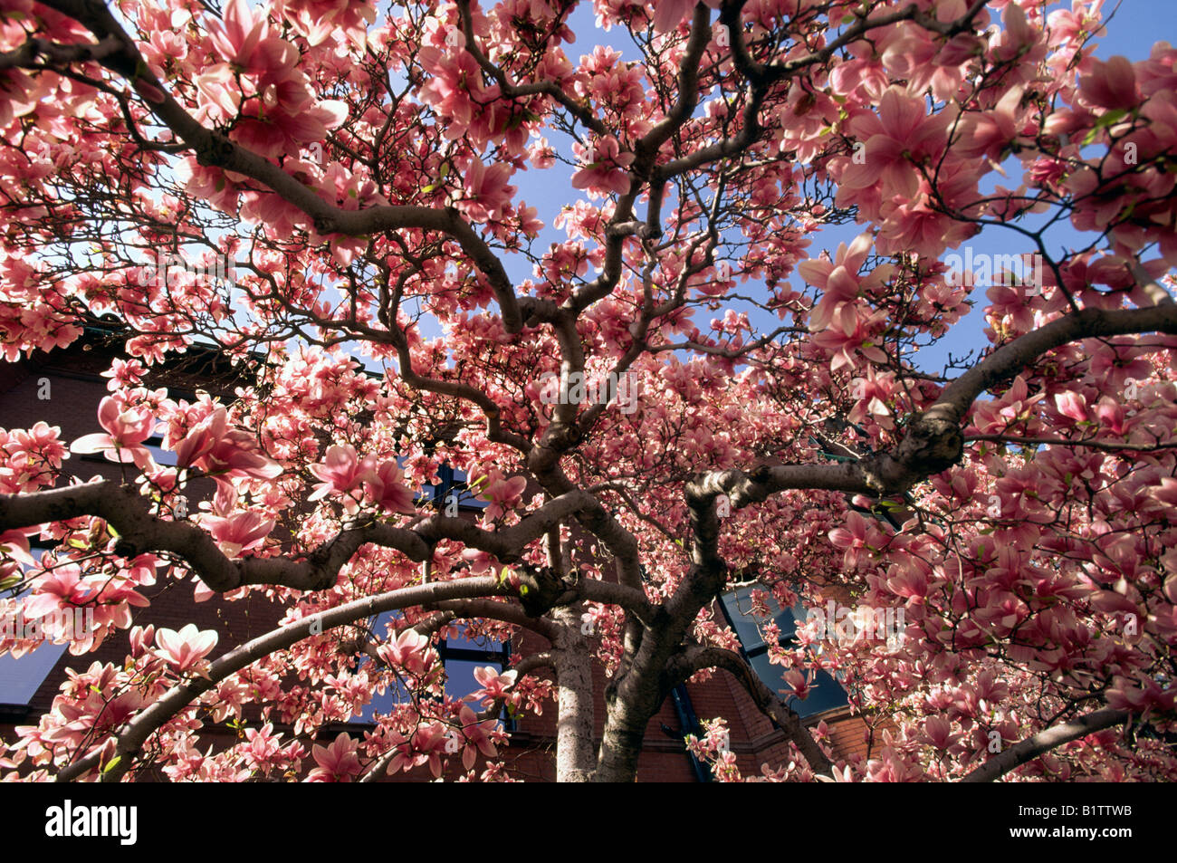 Magnolia Tree In Bloom Back Bay Neighborhood Of Boston Stock Photo