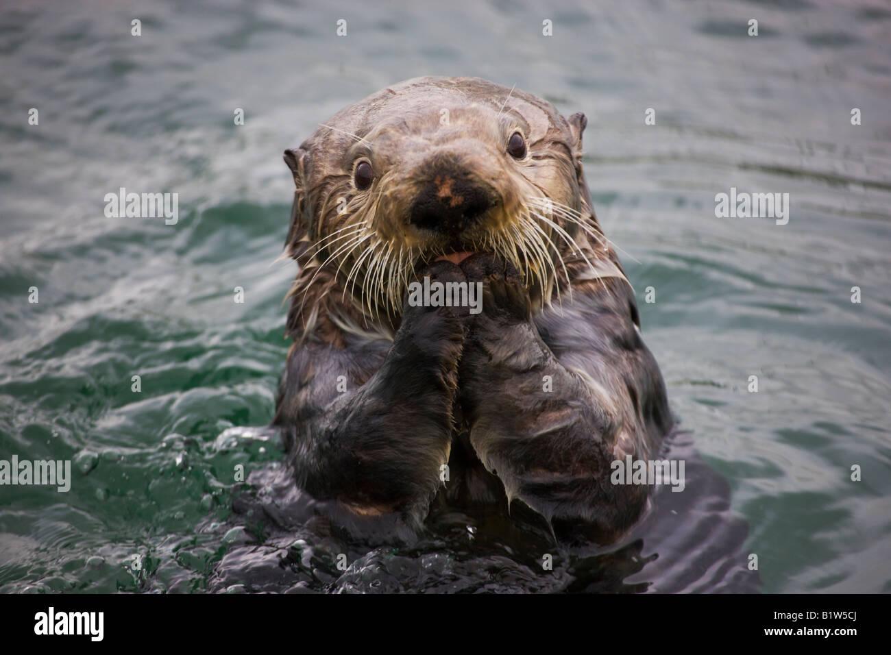 Sea Otter Enhydra lutris Cordova Alaska - Stock Image