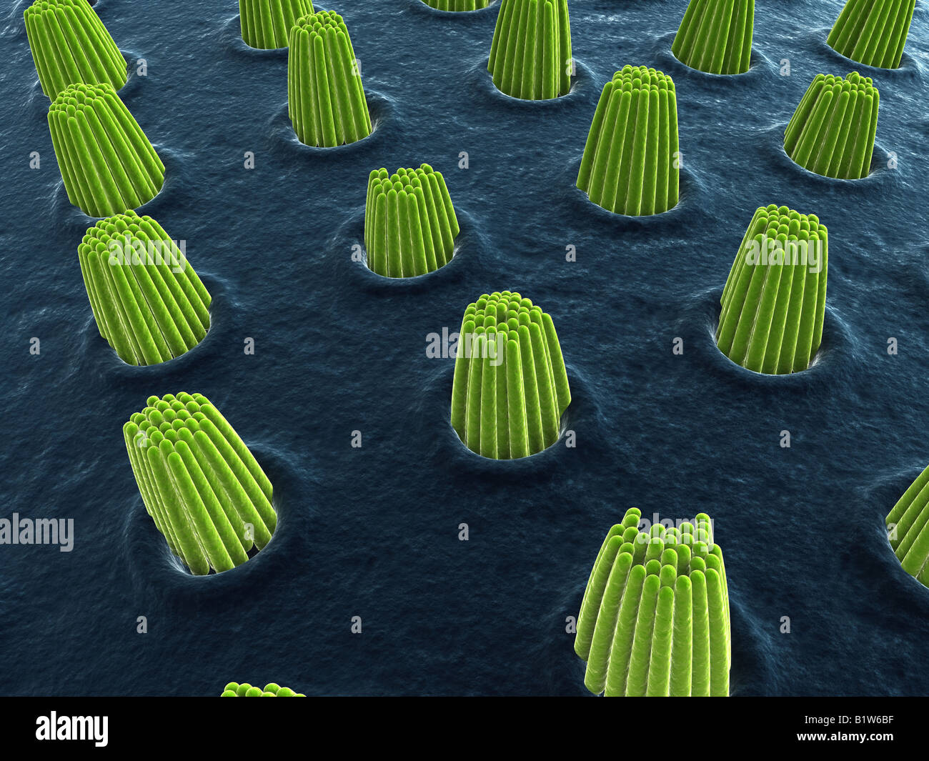 ear cells - Stock Image