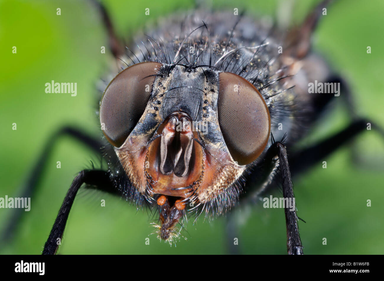 Compound Eyes of a Common House Fly - Stock Image