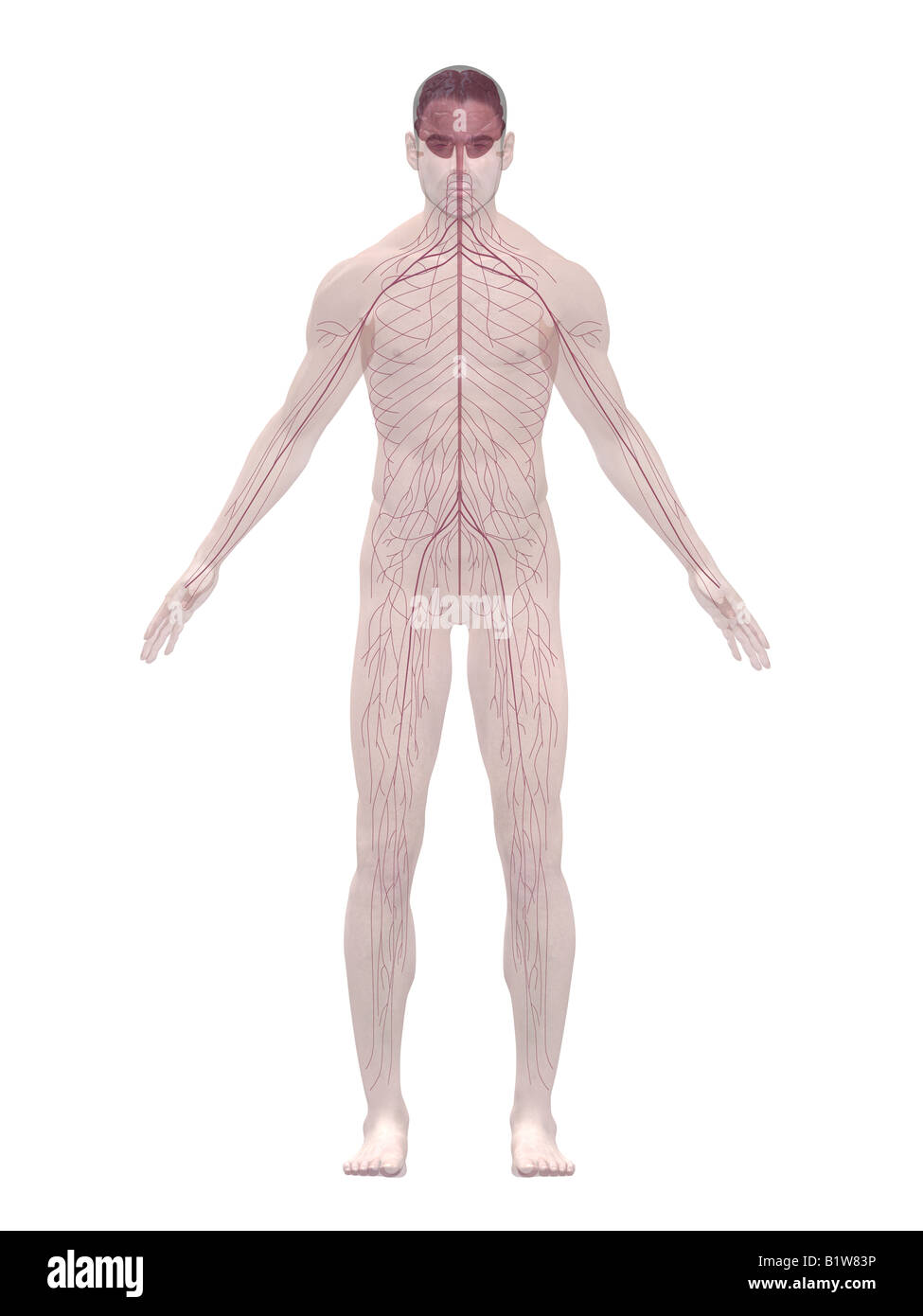 Nervous System Diagram Cut Out Stock Images Pictures Alamy