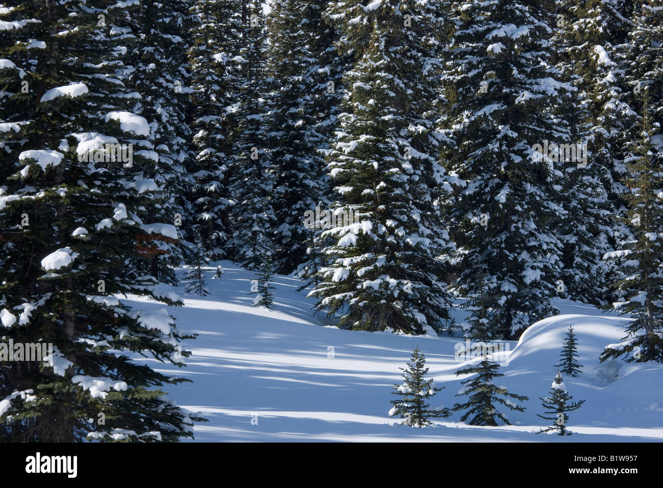 Canada Alberta Banff National Park snow covered pine trees - Stock Image