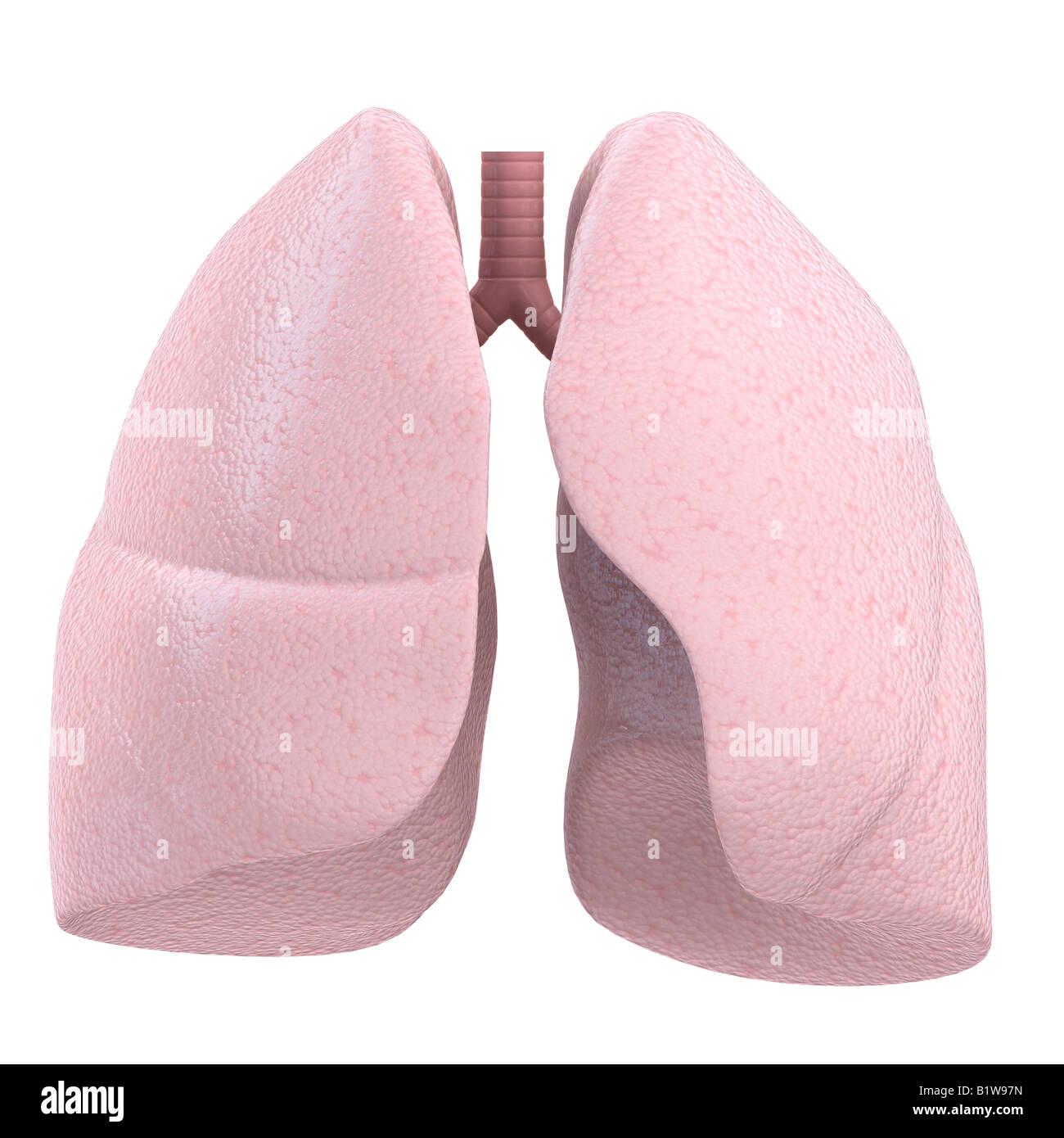 human lung - Stock Image