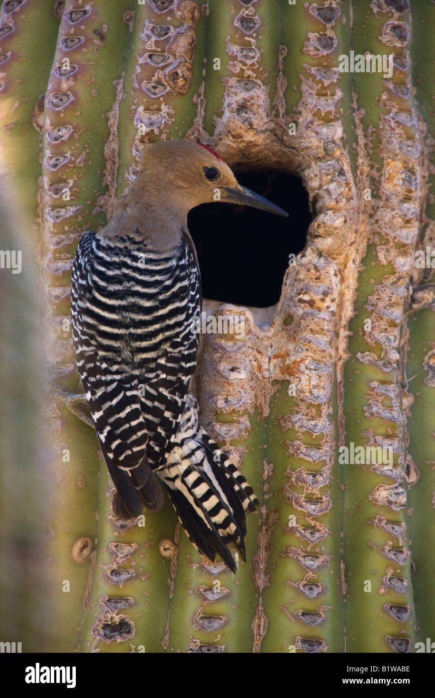 A Gila Woodpecker  at a nest cavity in a saguaro cactus McDowell Mountain Regional Park near Fountain Hills near - Stock Image