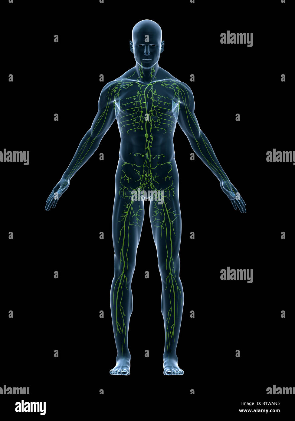 lymphatic system - Stock Image