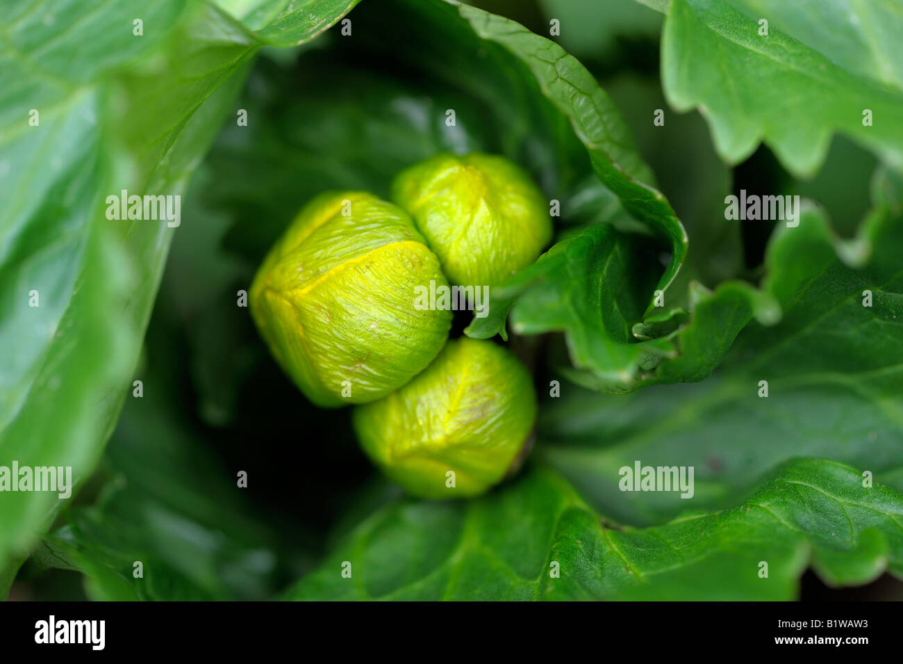 Cabbage Like Stock Photos Amp Cabbage Like Stock Images Alamy