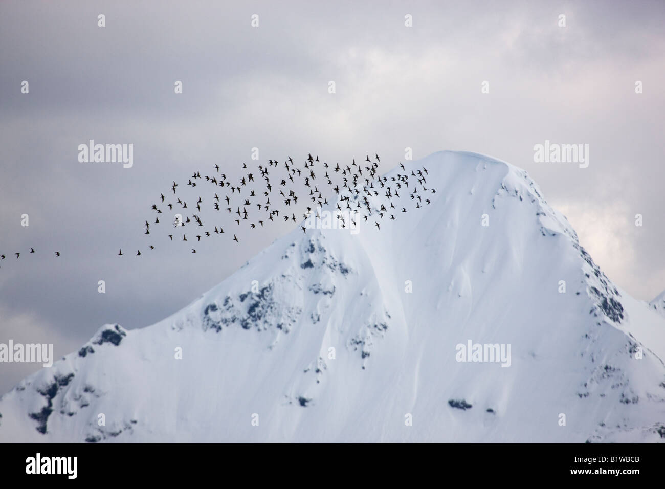 Shorebird migration on the Coper River Delta Chugach National Forest Cordova Alaska - Stock Image