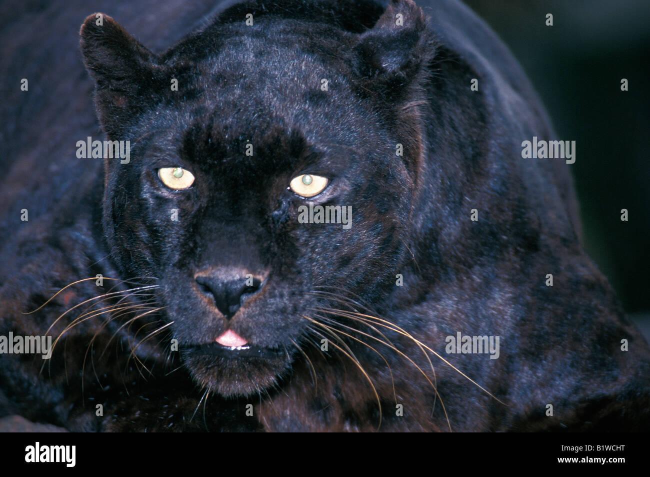 Panther hd schwarzer Black Panther