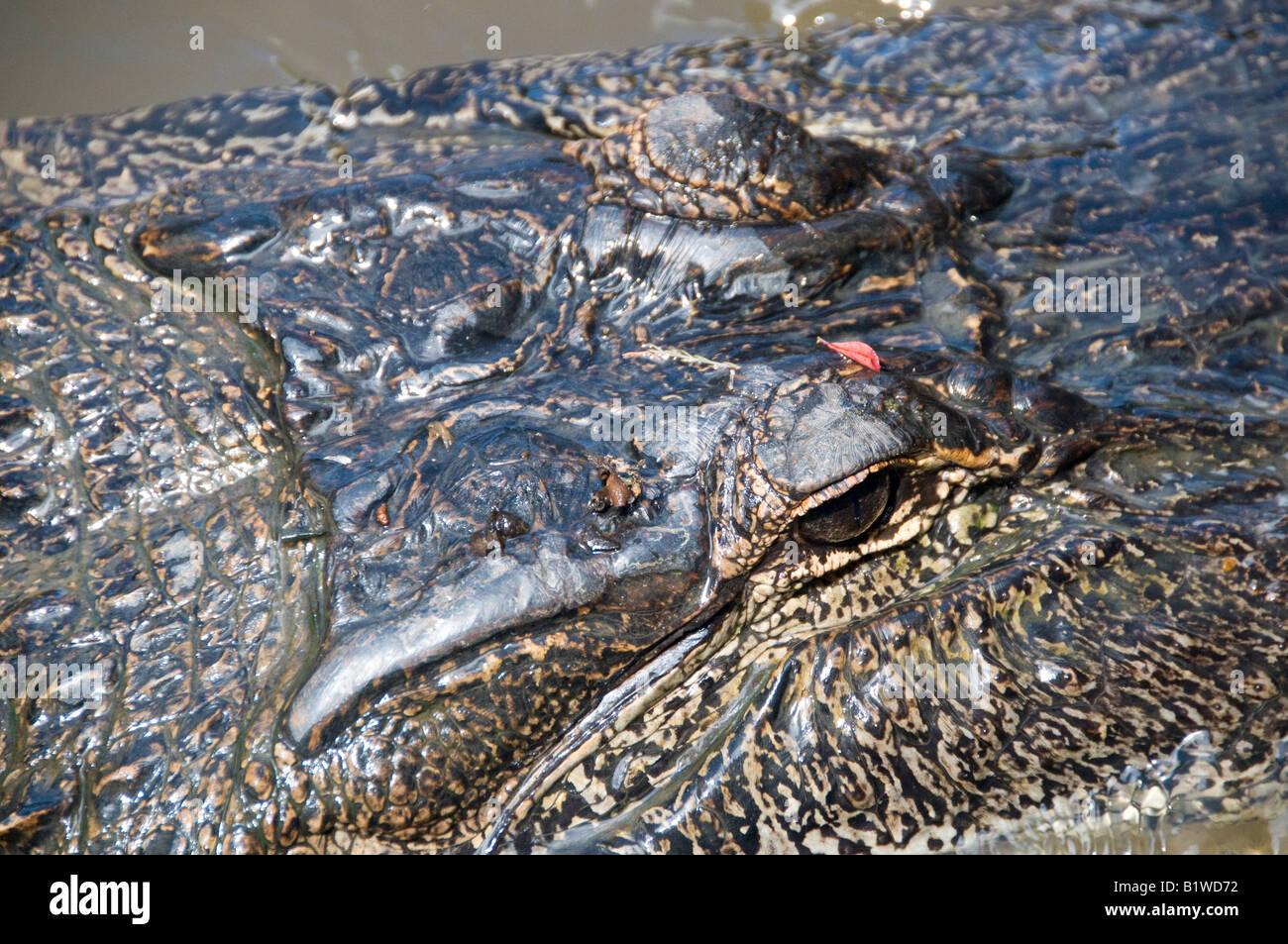 Alligator (alligator mississippiensis), Honey Island Swamp, West Pearl River, Saint Tammany Parish, Northshore, Louisiana. Stock Photo