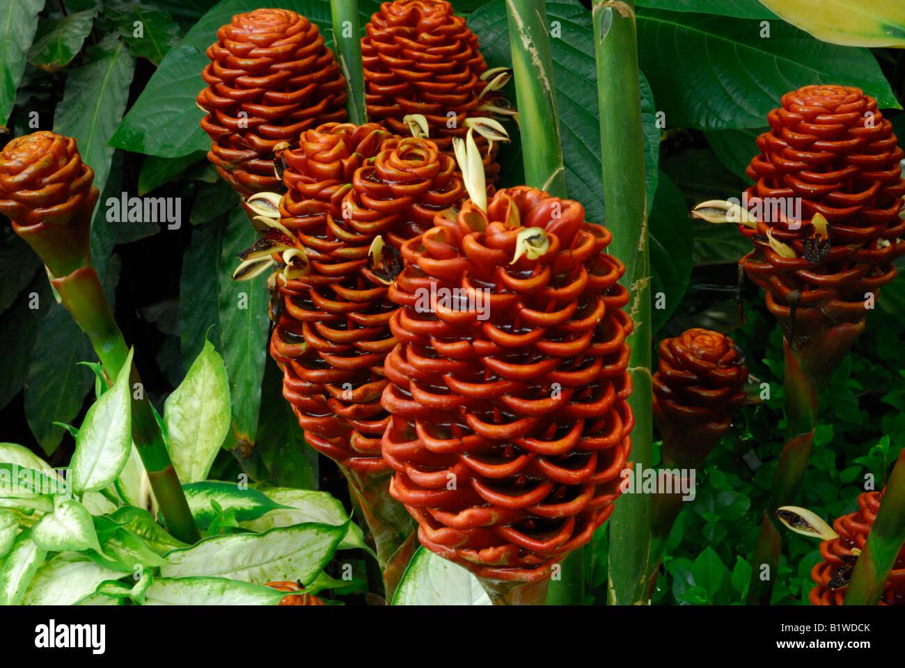 Beehive ginger (zingiber specatabile) - Stock Image