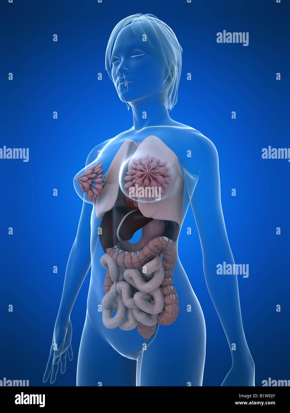 Human Body Female Organs Stock Photos Human Body Female Organs
