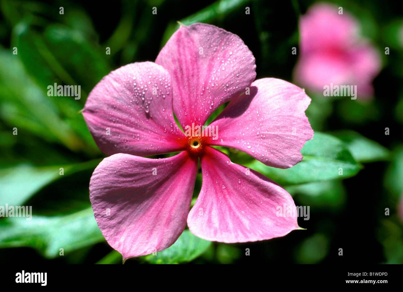 impatience Fleissiges Lieschen Busy Lizzie Balsam Impatiens walleriana flowering Balkonpflanzen Balsamiengewaechse Balsaminaceae Stock Photo