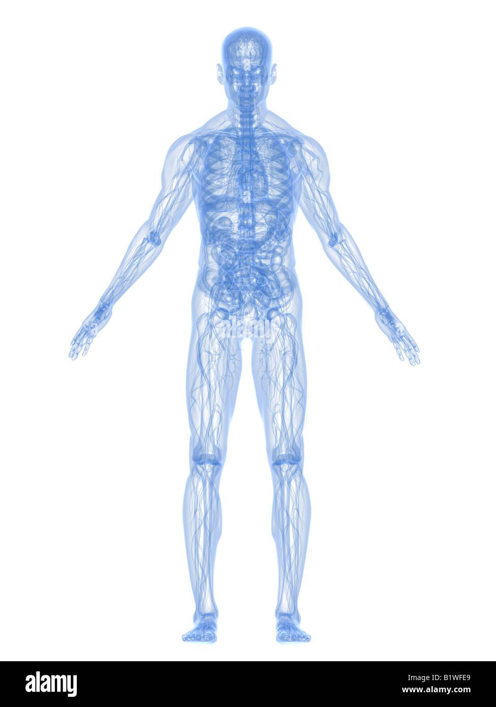 x-ray anatomy - Stock Image