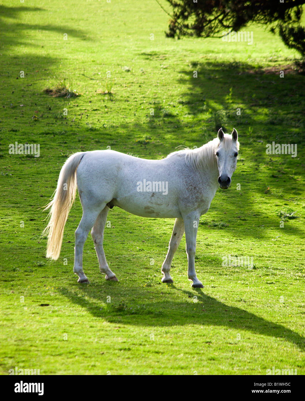 ENGLAND West Sussex Chichester White stallion casting shadow in evening light standing in field looking at camera - Stock Image