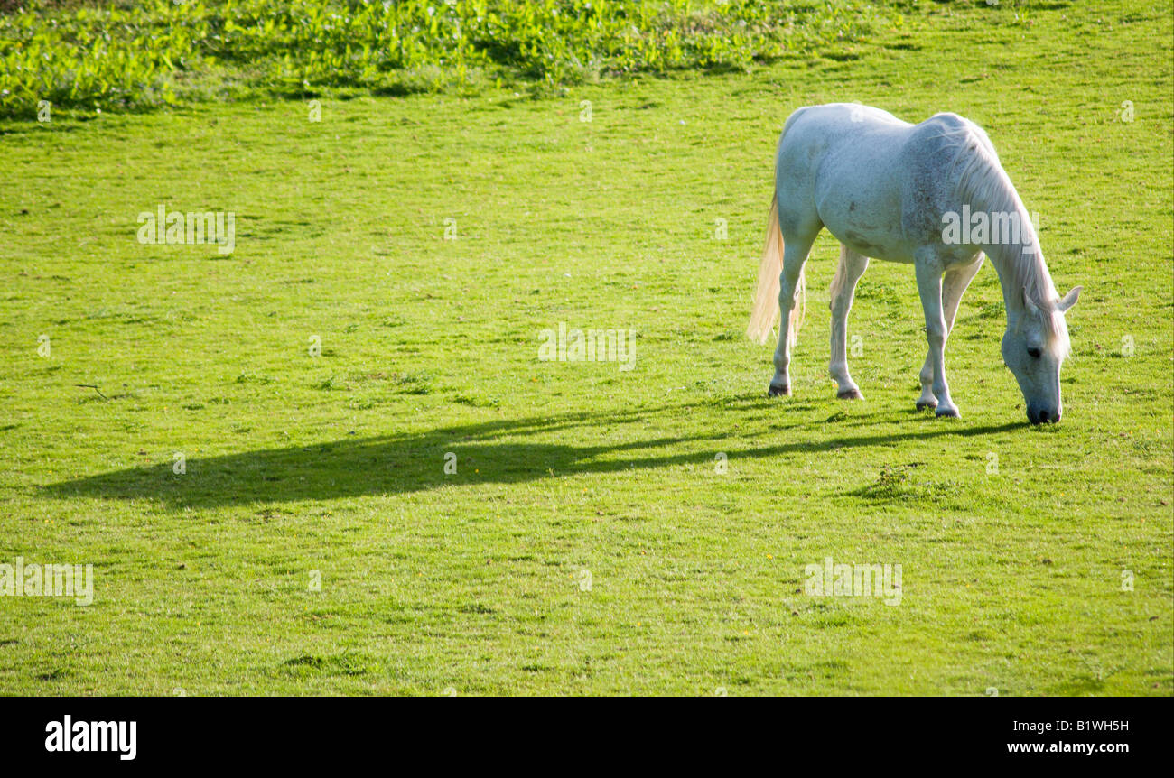 ENGLAND West Sussex Chichester White stallion grazing in a field casting a long shadow in the evening sunlight - Stock Image