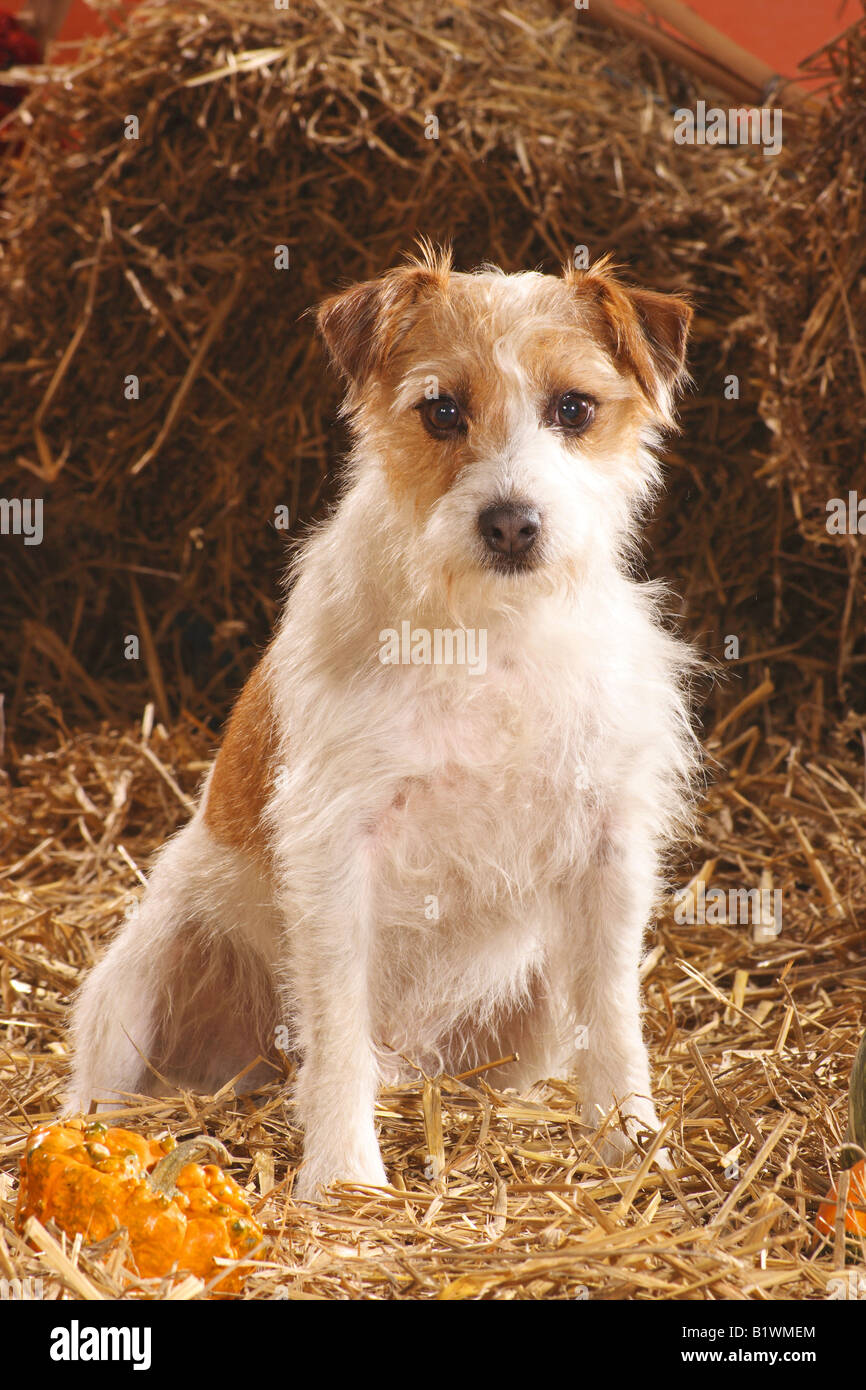 Cross Wired Hair Jack Russell Terrier Wire Center Amplifier Circuit Lm380 Amplifiercircuitsaudio Amplifiercircuit Haired Sitting In Straw Stock Photo Rh Alamy Com