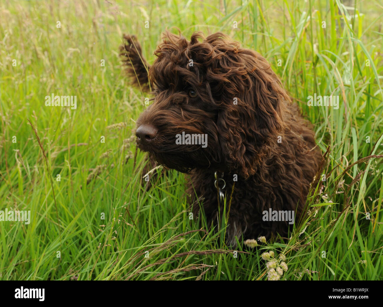 chocolate cookapoo puppy in long grass - Stock Image