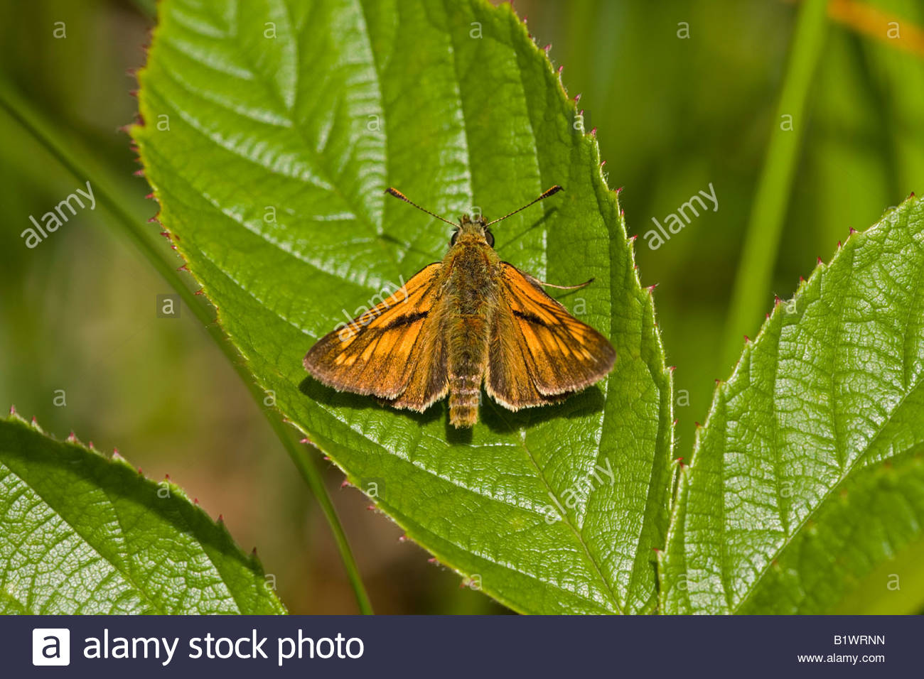 Large skipper butterfly - Stock Image