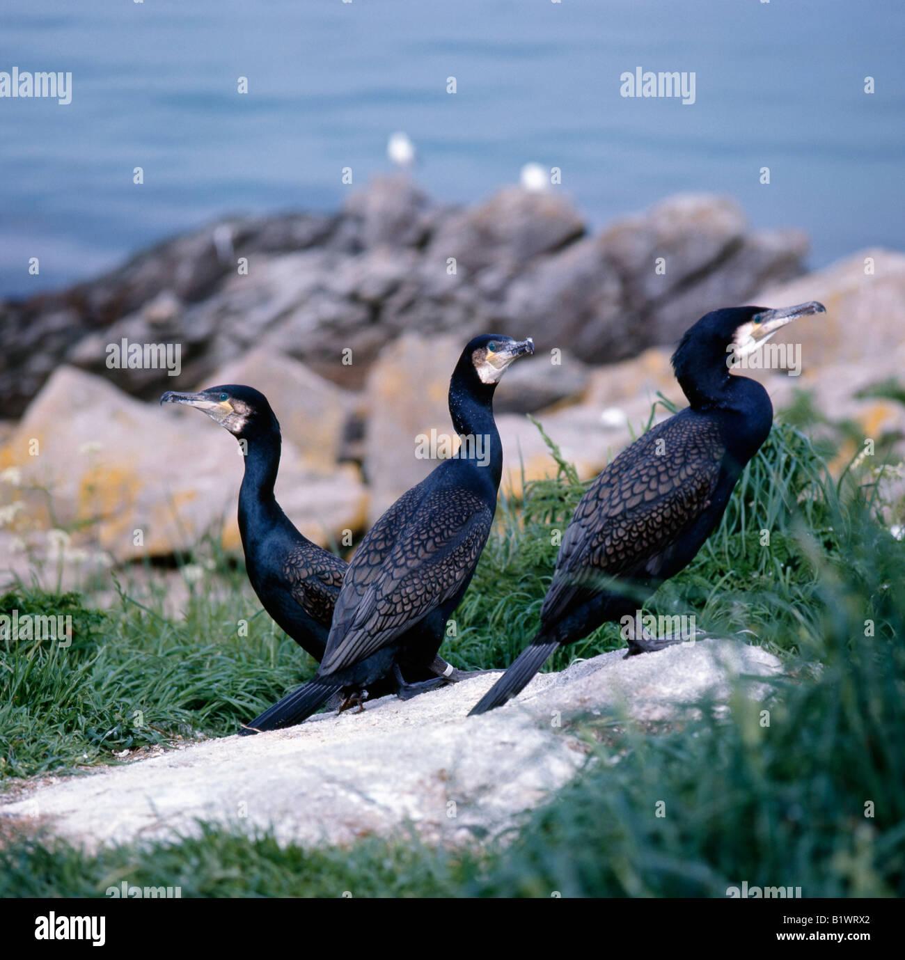 grand cormoran Great Cormorant Phalacrocorax carbo Africa Afrika animals Asia Asien Aves birds Cormoran commun cormorants - Stock Image