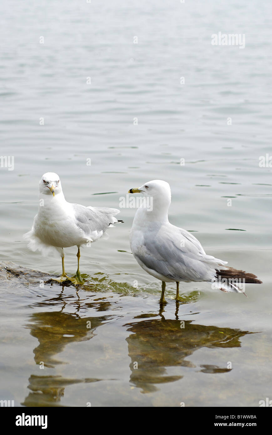 Pair of Herring Gulls / Seagulls, Mississauga, Port Credit area - Stock Image