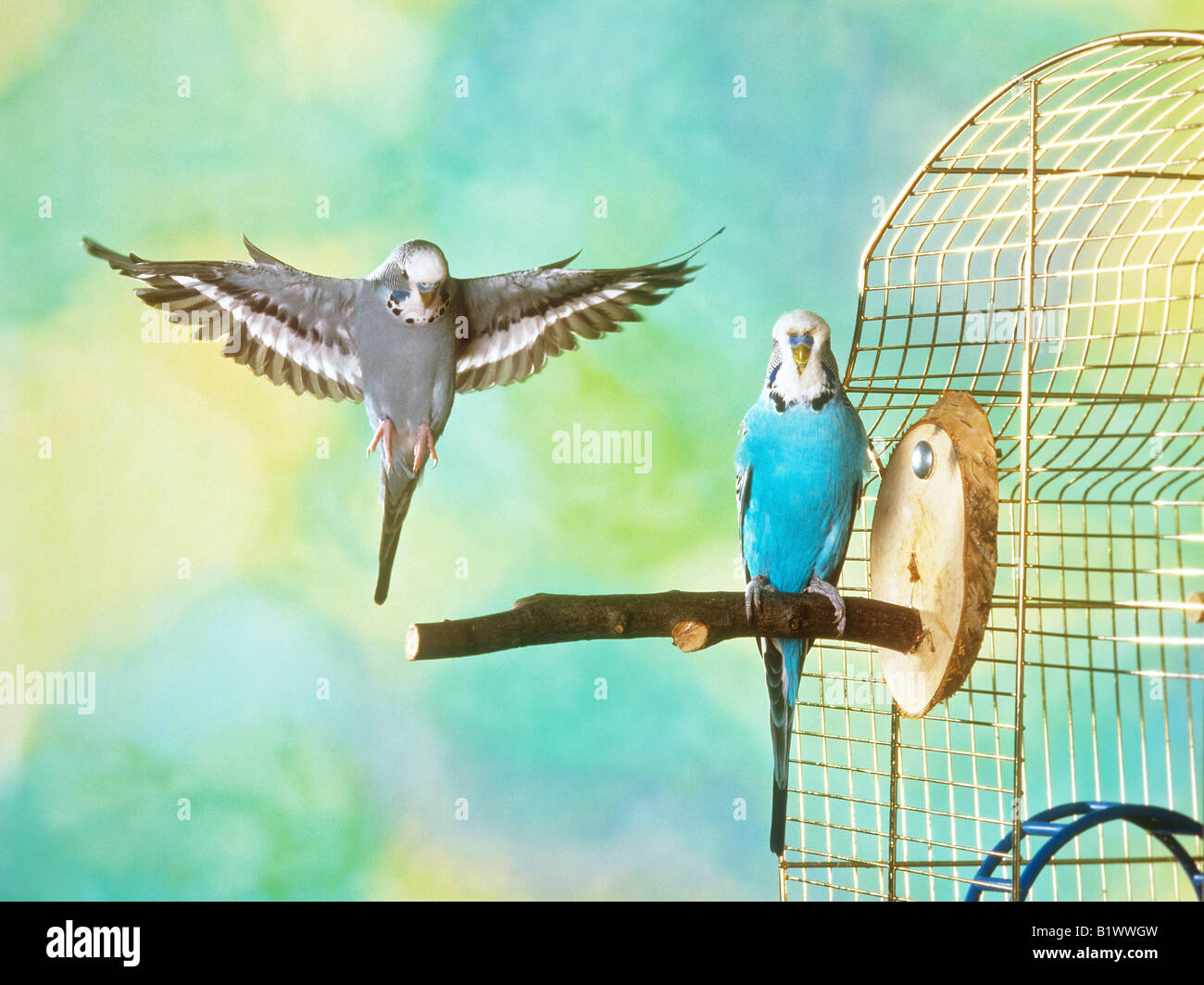 two budgerigars - in flight and sitting - Stock Image