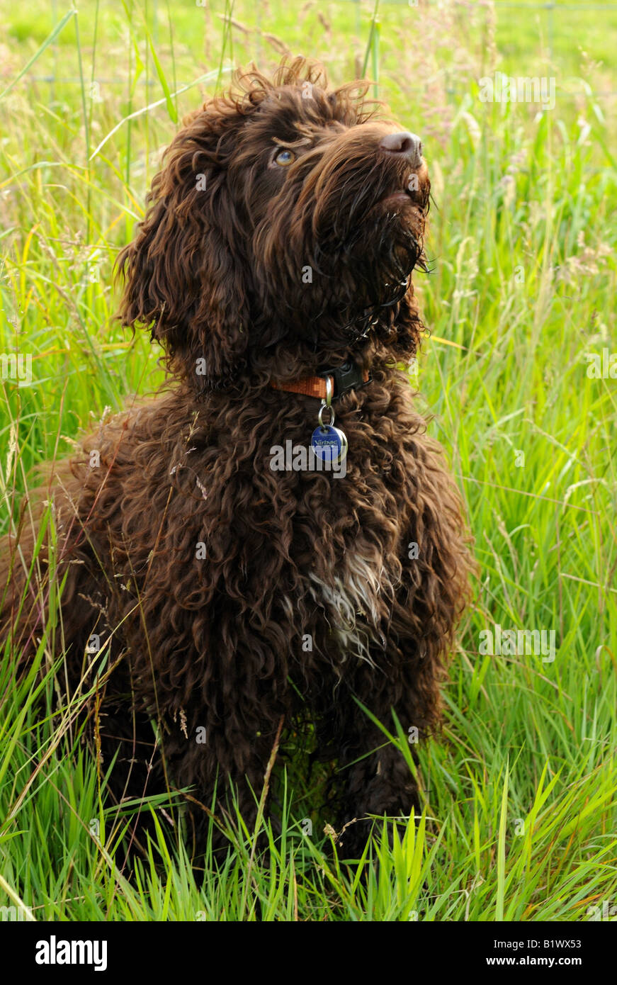 chocolate cookapoo puppy sat in long grass by lake - Stock Image