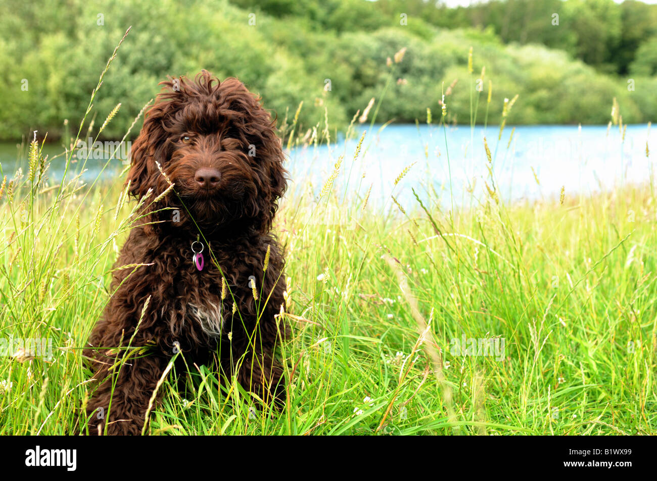chocolate cockapoo puppy sat in long grass by lake - Stock Image