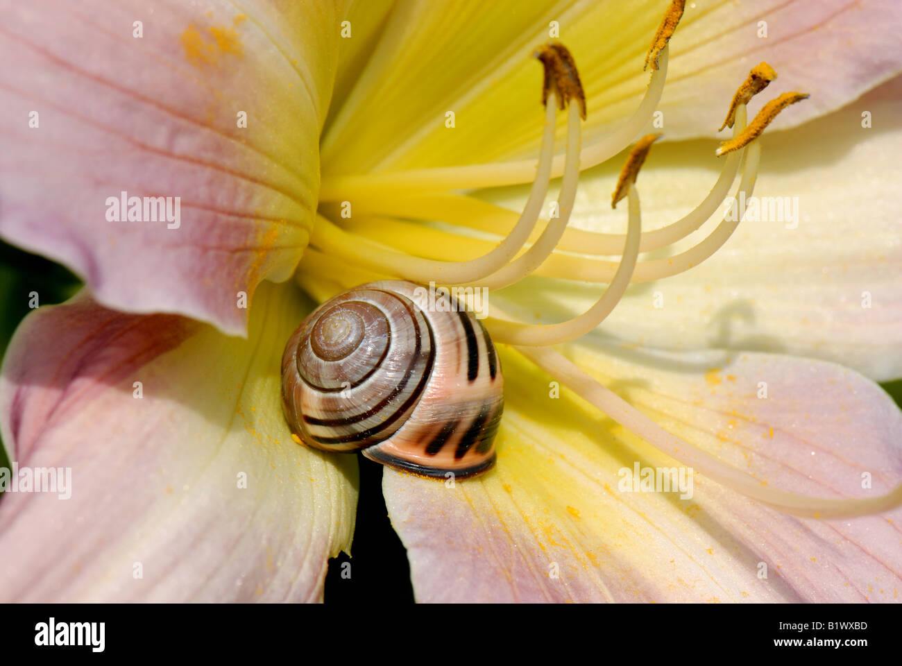 A highly coloured form of a dark lipped banded snail Cepaea nemoralis on a day lily flower Stock Photo