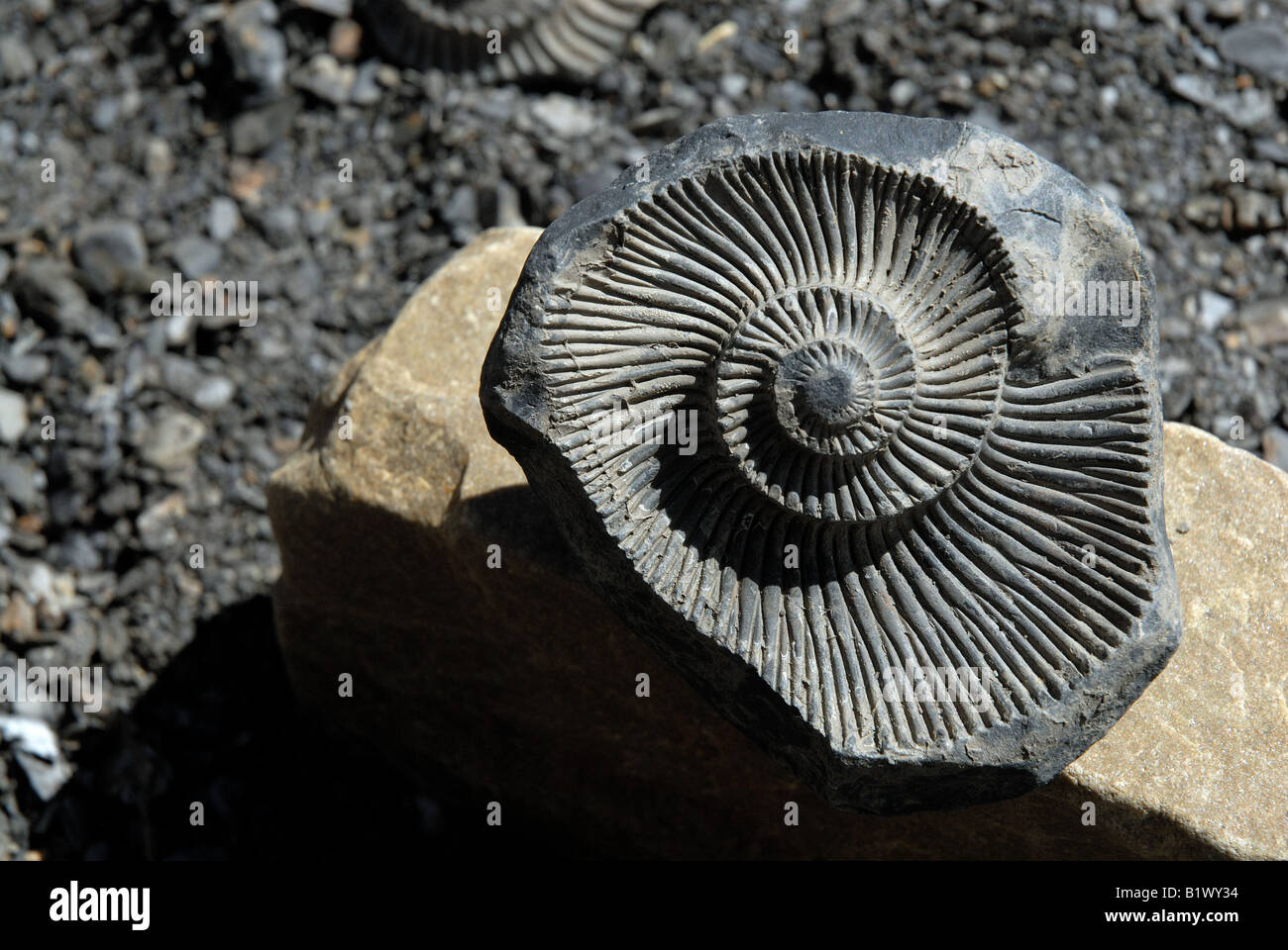 Fossil of primordial aquatic life ammonite found in Langza in Spiti valley, evidence of it being submerged under - Stock Image