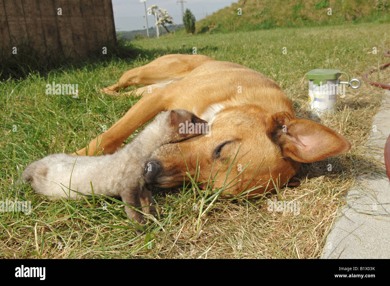animal friendship: half breed dog and young beech marten - lying in the meadow - Stock Image