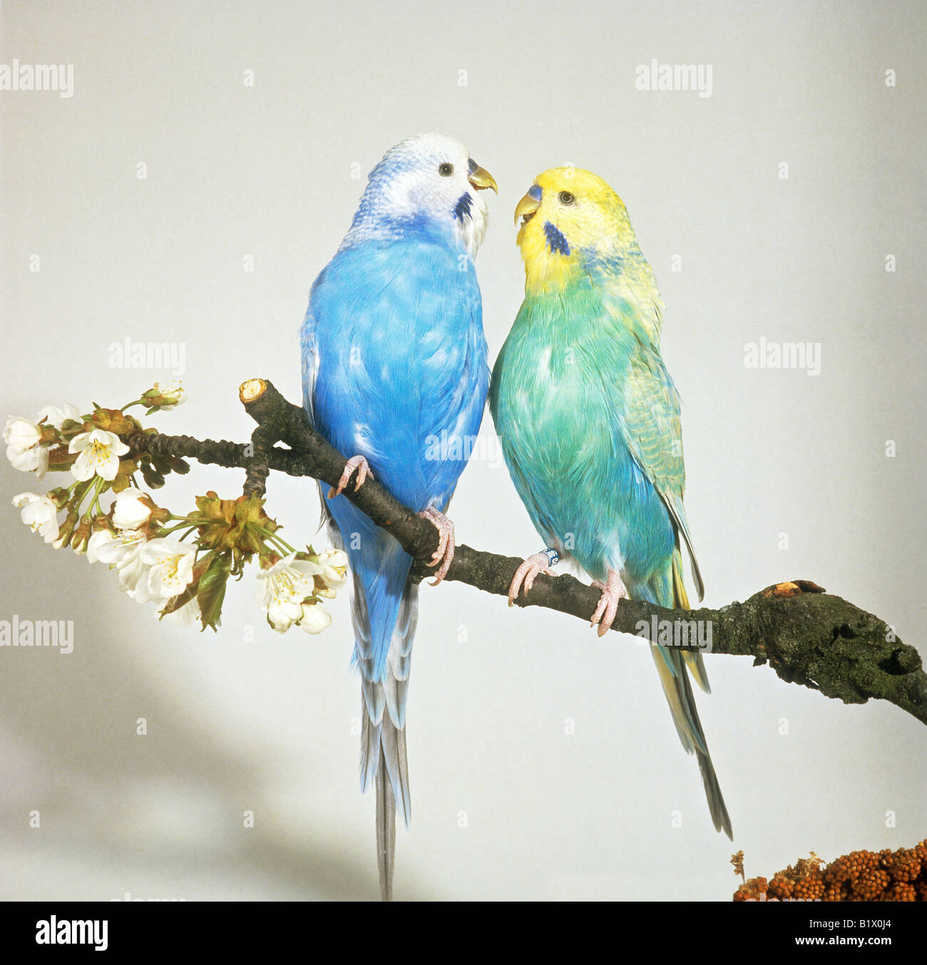 two budgerigars - sitting on branch - Stock Image